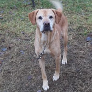 Male Lab mix left outside at the pound.
